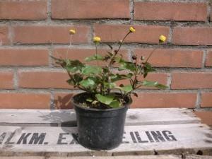 Spilanthes Oleracea
